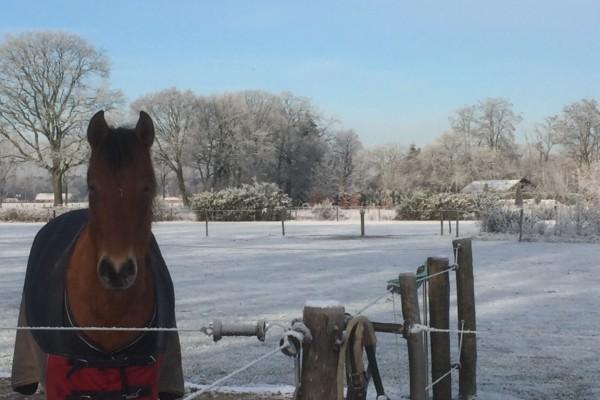 Boksheide Paard Winter
